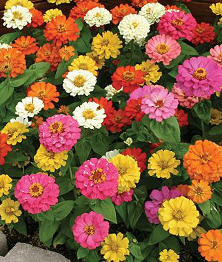 """Zinnia, Thumbelina    1¼"""" flowers from mid-summer to frost. lifecycle: Annual   Sun: Full Sun   Height: 6  inches  Spread: 8-10  inches  Sowing Method: Direct Sow/Indoor Sow"""