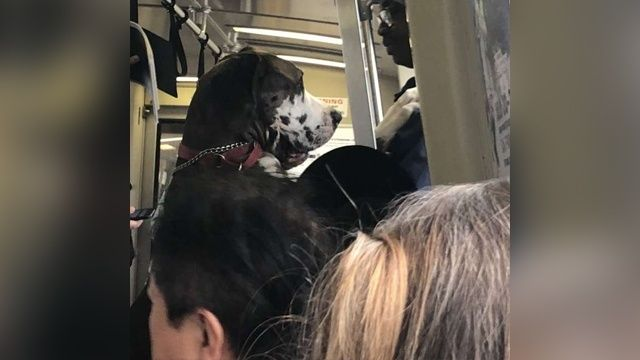 Giant Very Good Dog Rides Train On Two Feet Like A Man Goes