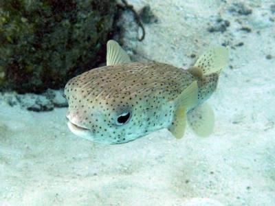 Porcupinefish (Diodon Hystric) - Caribbean