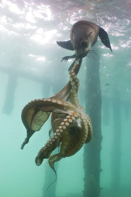 animals octopus national geographic - photo #22