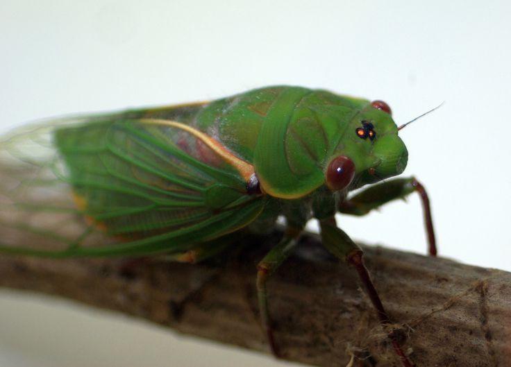Glint in the eye of a Cicada