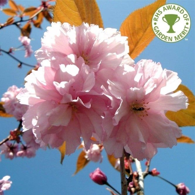 Pin On Prunus