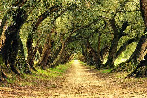 Paseo de lo Olivos, Pazo Santa Cruz de Rivadulla, Galicia, Spain
