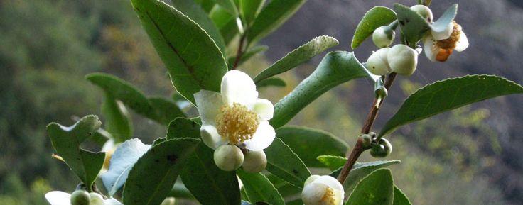 La pianta del tè - Biotea