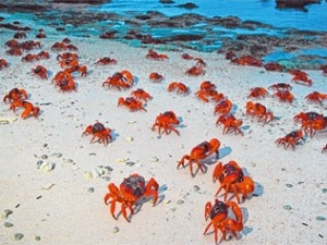 Red crab migration on Christmas Island, Australia.