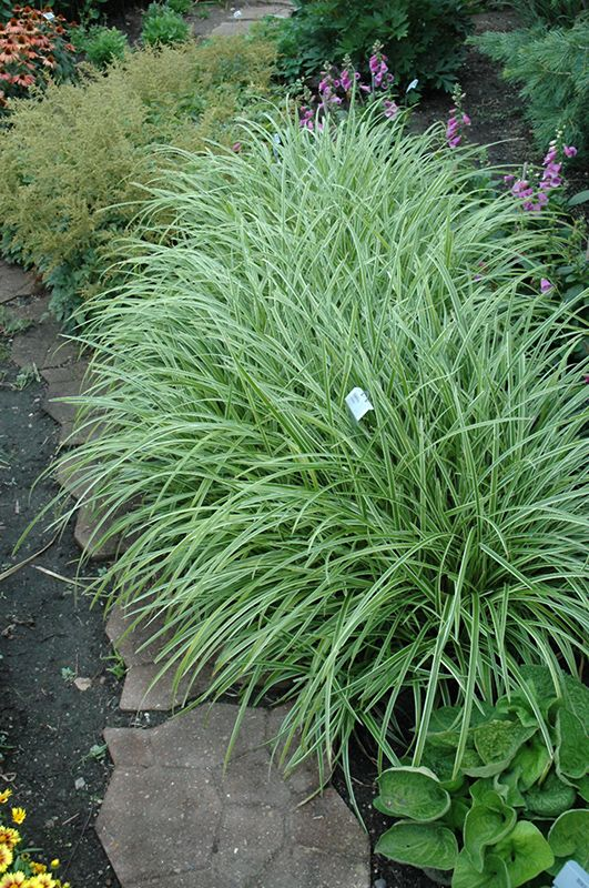 Click to view full-size photo of Ice Dance Sedge (Carex morrowii 'Ice Dance') at Gertens