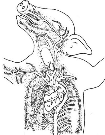 pig dissection heart diagram