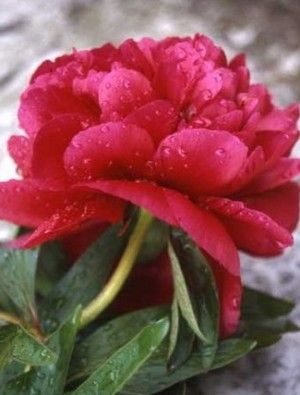 The O 39 Jays Products And Peonies On Pinterest