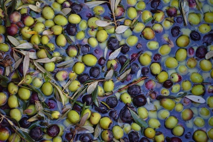 Washing the olives
