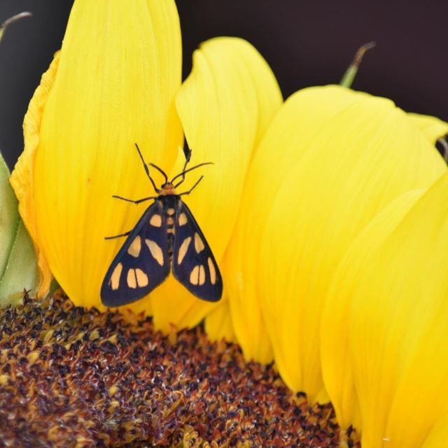 SPOTTED: a spotted butterfly insect resting on the soft petals of a sunflower 🌻🦋 //