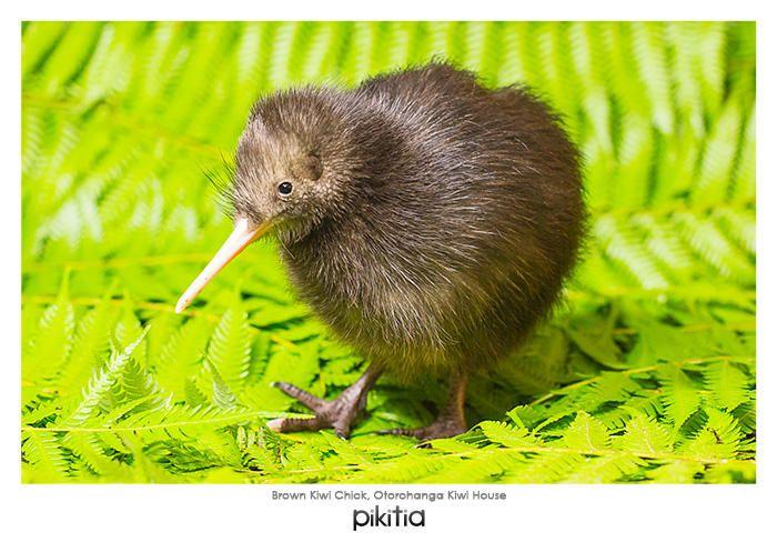 Postcard 'Brown Kiwi Chick, Otorohanga Kiwi House' which is found in Pikitia's high quality range of postcards