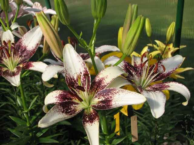 Азиатские лилии, сорта и агротехника выращивания