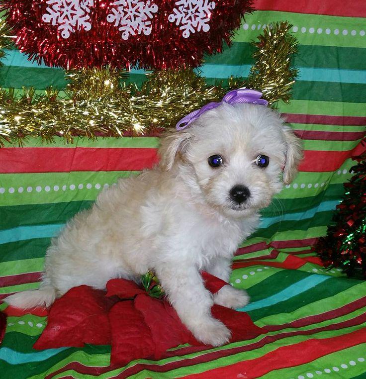 Maltipoo puppy for sale in Texas Maltipoo puppy