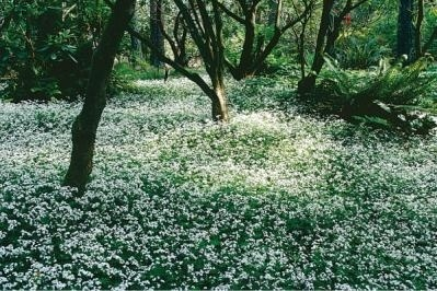 sweet woodroof - herb/ground cover that grows in shade - can use in tea or dry (fragrance strengthens as it dries)