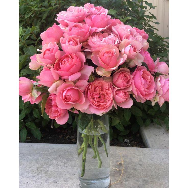 All Dressed Up Rose - Grandiflora | Spring Hill Nurseries