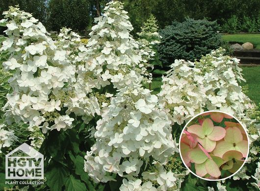 Hgtv Home Plants White Blush Garden Pinterest House And Hydrangea