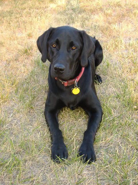Black Lab Photos!! : Hunting Dog Forum | Black Labs ...
