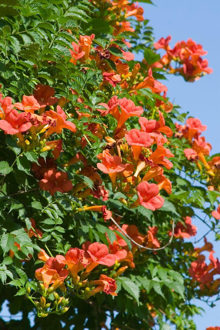 Trompetbloem (Campsis) - My Perfect Garden