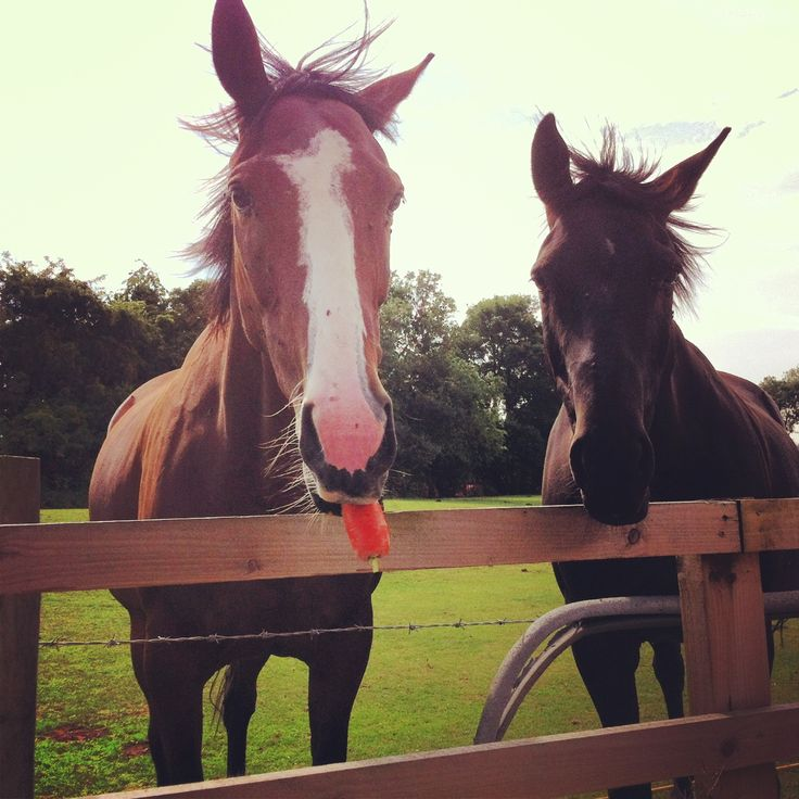 """Feeding the Horses in Burton - """"yummy carrots is there any more ?"""""""
