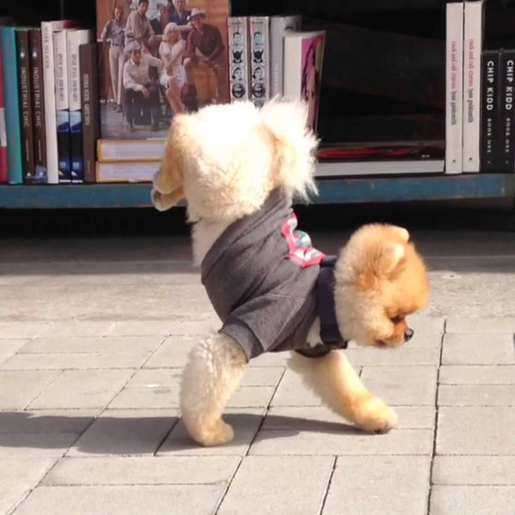 Jiff the Pomeranian Performs a Walking Handstand Along Sidewalk To A Small Gathering Crowd