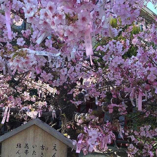 【yurikodachi】さんのInstagramをピンしています。 《昨日のEVA'S KITCHEN の帰りに 今が見頃!と聞いて急遽皆で一足早いお花見に 桜新町の桜神社⛩の河津桜が満開でした 今日の強風に頑張って耐えられてるかなぁ〜 #cherryblossoms  #earlycherryblossoms  #お花見  #桜神社 #縁結び神社  #桜新町の桜》