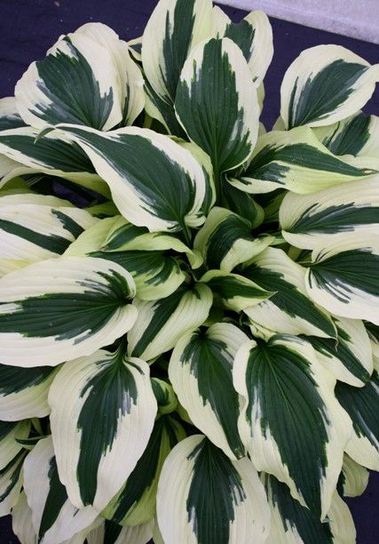 Hostas for sale buy Hosta 'Ice Follies' PPAF