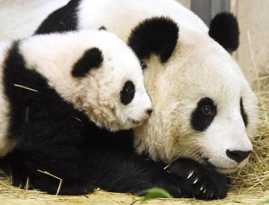 Pandas have the basic body of Grizzly bears ect.