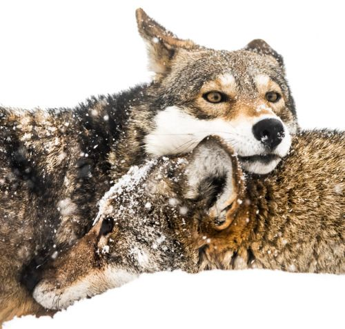 Red Wolf Pair in Snow by © Abeselom Zerit
