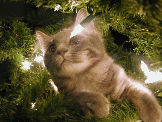 Hot Tip:  Deter Cats From Your Christmas Tree With Citrus Wonder if this works for our cat??