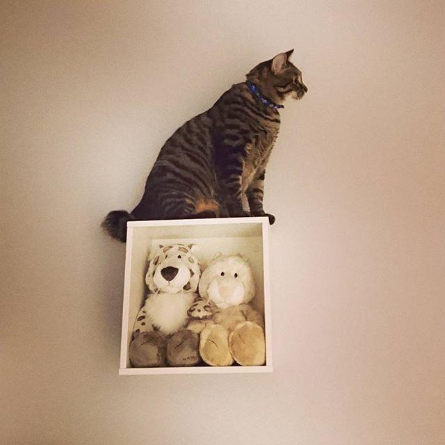 ♡ 💗 自力で登ってくれた💓 初😍わーい✴ でも、ミシッて聞こえた…😂(笑) 🌙 実は、仕事いってる合間に 普通に登ってたりして…(笑) 💗 #マイホーム #新築 #新築一戸建て #ねこ #猫 #CAT #愛猫 #ティス #キジトラ #スポタビ #キャットステップ #IKEA 🇸🇪 #猫のための家 #猫のいる暮らし #猫と住む家 #NICI #ユキヒョウ #ぬいぐるみ