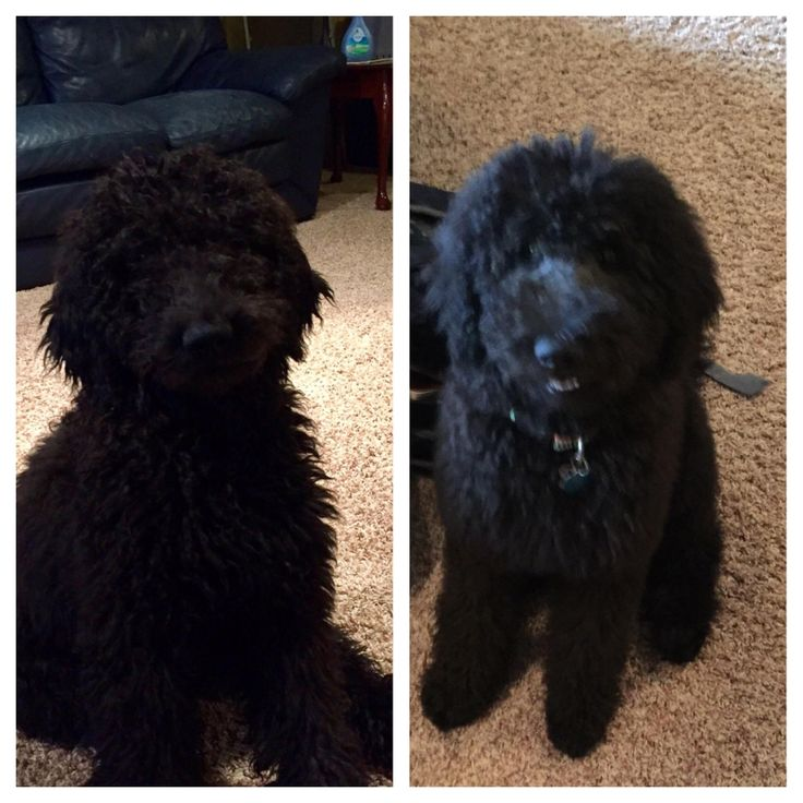 """This is why you don't get your puppers a first """"getting used to the process"""" haircut... we went from Muppet to Hungry Hungry Hippo http://ift.tt/2o5IQB5"""