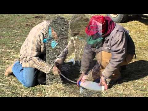 Check out this great video that Kayla Sargent of Big Timber, Montana put together of calving season on her family's ranch. We congratulate Kayla on her recent graduation from Northwest College this semester! @Kayla Sargent