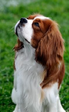 Cavalier King Charles Spaniel. such a beautiful breed of dog!
