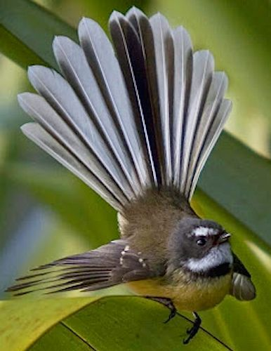 New Zealand fantail (Rhipidura fuliginosa). Fantails are small ...
