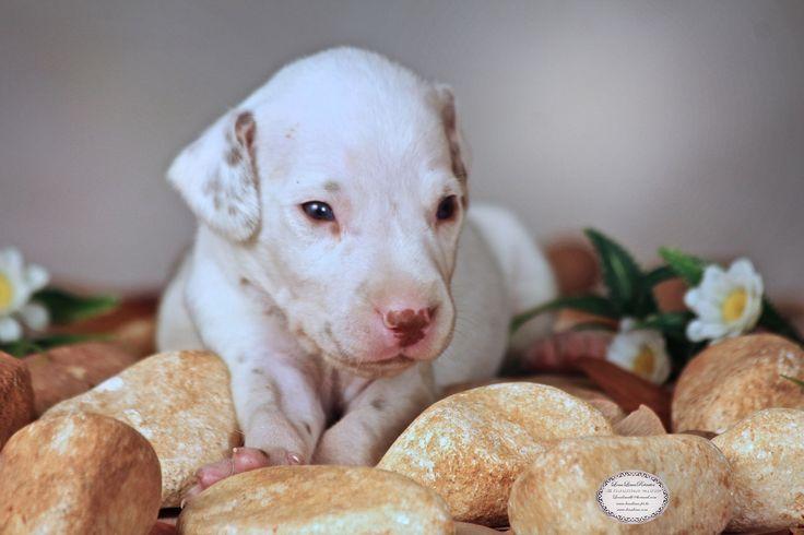 Newborn de Dalmatas/lenalima fotografa de animais em Bh.