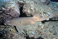 Colclough's shark or blue gray carpet shark, Brachaelurus colcloughi, Queensland, Australia, Pacific