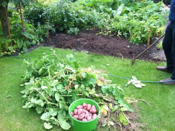 harvesting potatoes. poostebloom.de