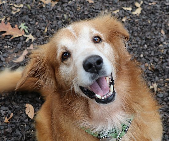 Pend adopt. This is Tbone (# 16-237) a 7 yr old Golden mix. He is neutered, current on vacciantions, potty trained, walks well on leash, good with older kids. No cats/No dogs - Needs to be the only pet in the house. He can be mouthy when playing and resource guards food. Needs obedience class. He is a playful, outgoing boy with an independent streak. DVGRR, PA. -  https://www.dvgrr.org/dogs/16-237-tbone/