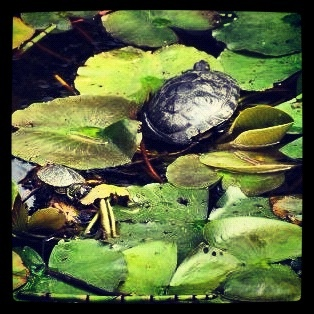 Turtle family #turtle #baby #tortoise #pond #water
