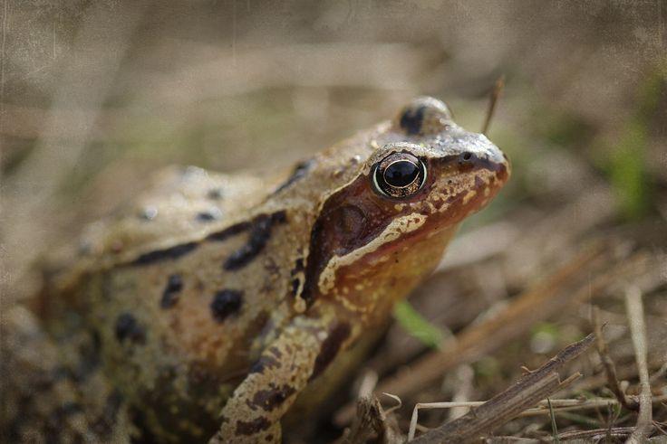 K Frog