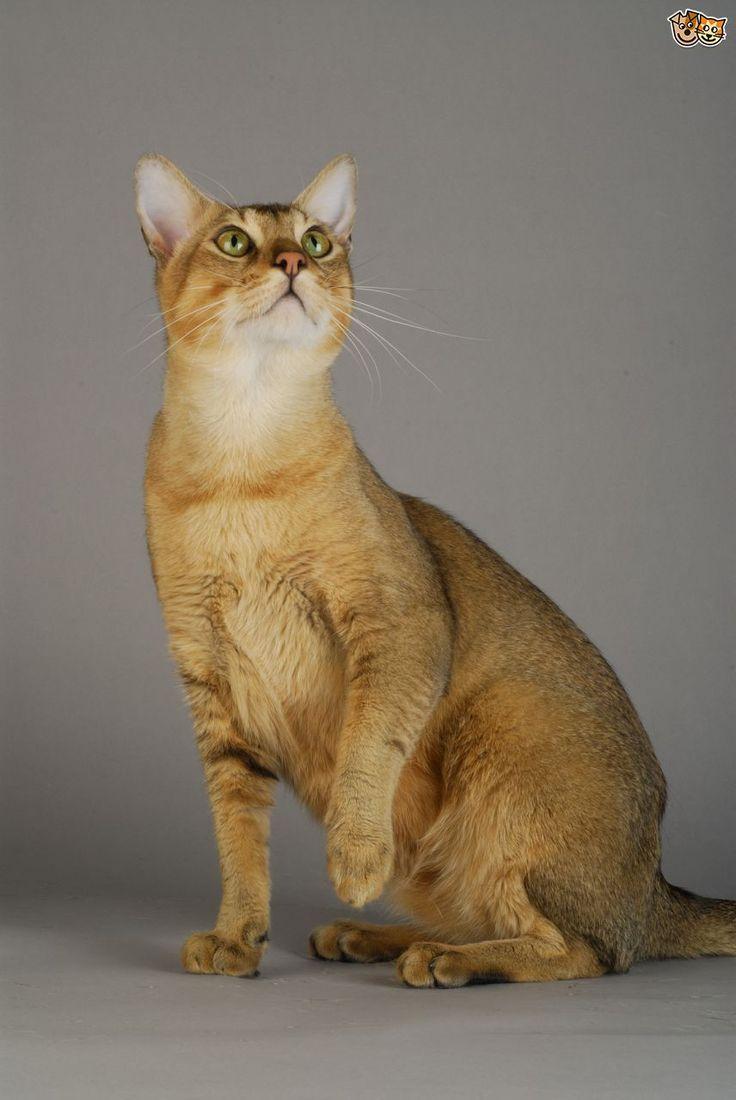 17 Best ideas about Largest Domestic Cat on Pinterest ...