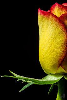 Alexandru Neaga: Rose