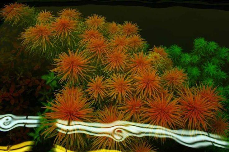 Ludwigia Pantanal Ludwigia Inclinata Var Verticillata