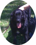 Max was surrendered to rescue because his family could not afford his medical needs. Max's fun-loving Newfie nature is now on display in his forever home - thanks to your support of NCA Rescue.