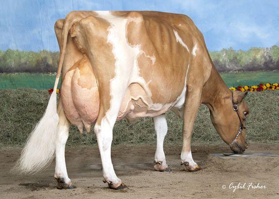 Cow Of the Month - Mi Wil Tiller Malibu - Guernsey cow investigating pedestal