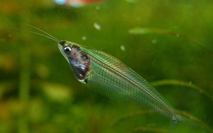 African Glass Catfish.