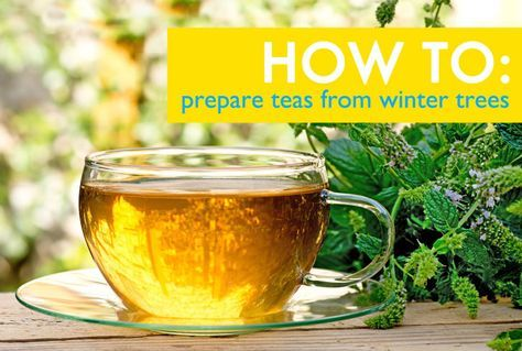 HOW TO: Prepare healing teas from winter trees | Inhabitat - Sustainable Design Innovation, Eco Architecture, Green Building