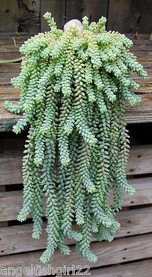 SEDUM DONKEY TAIL HANGING BASKET SUCCULENT INDOOR HOUSE PLANT Part 58