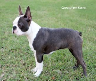 blue boston terrier for sale 110 best images about bostons are the best on pinterest 2768
