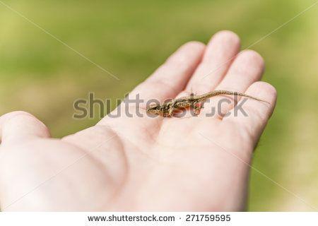 Lizard (Sand lizard, Lacerta agilis) on hand